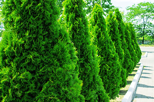 Hedges to line the side of a house to protect from excess noise.